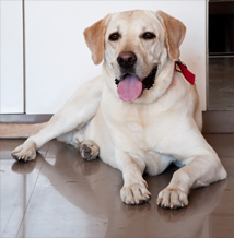 Labrador Buddy the therapy dog at Animal Angels Foundation