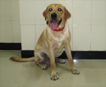 Dexter the Labrador at Animal Angels Foundation