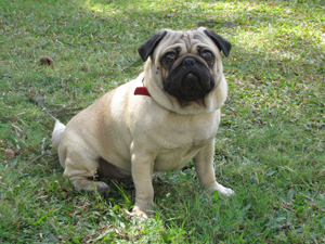 Dexter the pug at Animal Angels Foundation