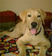 Max the Labrador at Animal Angels Foundation